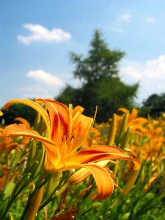 focused: Beautiful flower-field, front flower focused Stock Photo