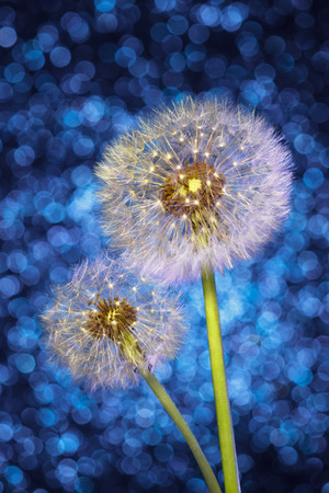 Parachutes of Dandelion Seeds on Bright Blue Bokeh Background. Fluff of Spring Flower Blowball.