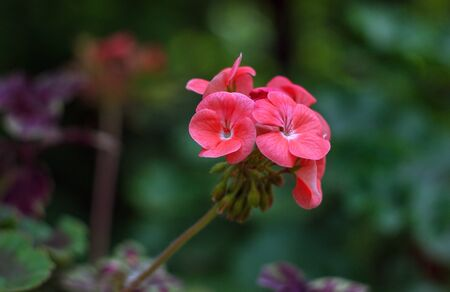 Close-up of Bright Pink Red Inflorescence of Geranium on Stalk. Garden Flower on Bokeh Green Natural Background. Фото со стока