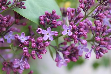 Beautiful summer lilac bush