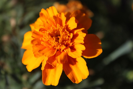 Flowers blossomed The marigolds in the garden Stock Photo