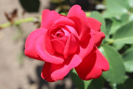 Red roses in a colorful rose garden Stock Photo