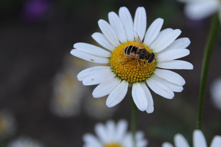 Die Biene sammelt die Leidenschaft auf der Kamille Standard-Bild