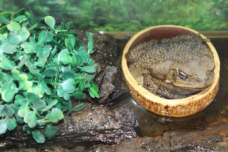 Large Toad Living In A Local Terrarium Stock Photo   89459245