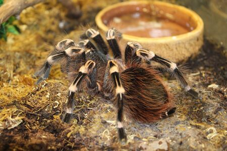 Big spider tarantula brachypelma albopilosum in all its glory