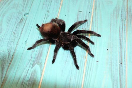 Large tarantula on a blue background. Spider Stock Photo