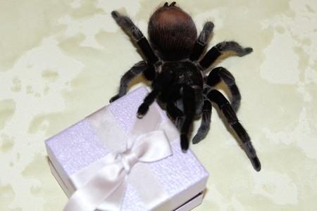 A large, beautiful tarantula walks before molting