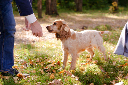 A healthy dog walks with the owner. A beautiful spaniel dog walks in the sun.