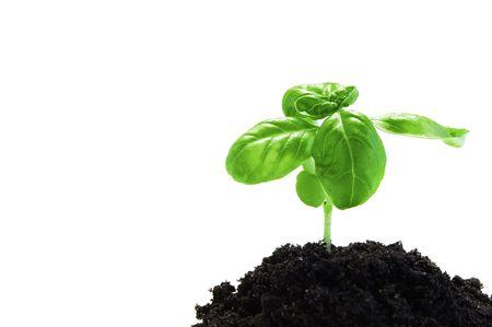 plant isolated on white background Stock Photo - 3736524