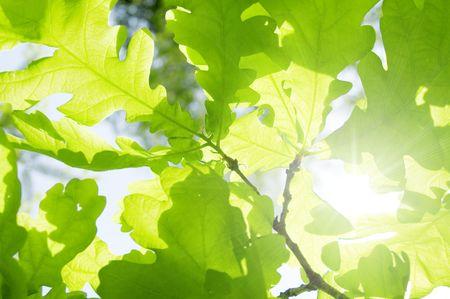 young leaf: new leaf of oak tree