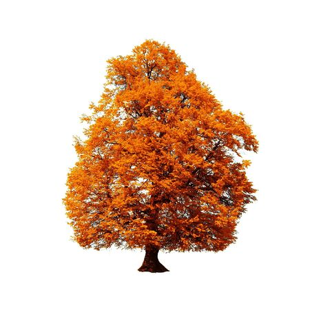 solitary tree: orange autumn tree isolated on white Stock Photo