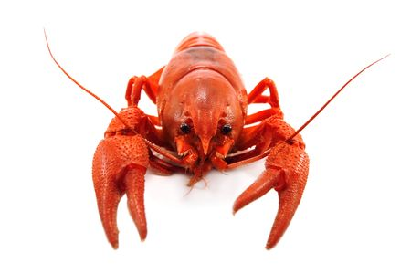 crustacean: crustacean isolated on white background