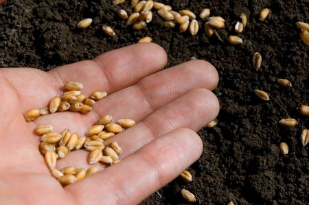 agronomics: hand and seeds of wheat Stock Photo