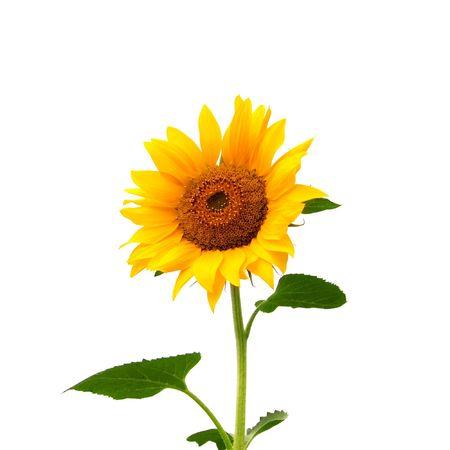 sunflower isolated: giallo girasole isolato su bianco Archivio Fotografico