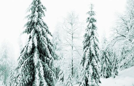 pinetree: Snowing forest. The winter landscape