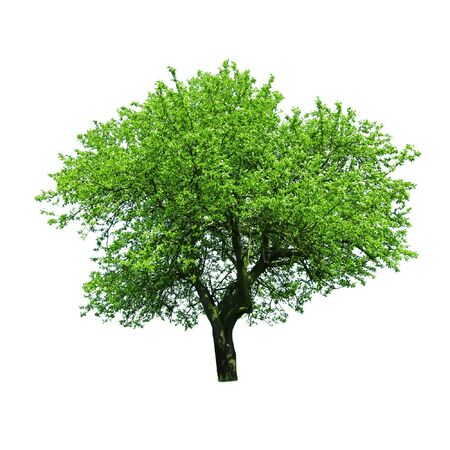 green tree isolated on white photo