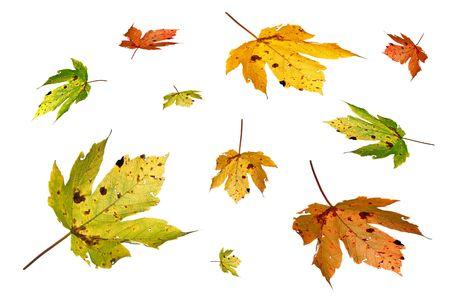 falling autumn leaf isolated on white photo