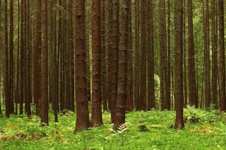 fairy tale fir tree forest Stock Photo - 3761336