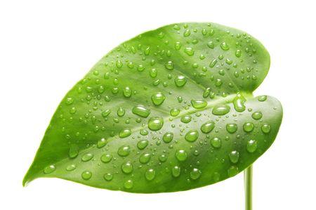 goutte de pluie: feuille verte isol�e sur le blanc
