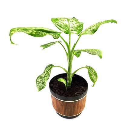home plant in pot isolated photo