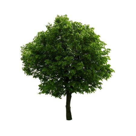 lone tree:  green tree isolated on white Stock Photo