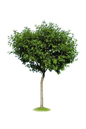 green tree isolated on white Stock Photo - 3761512