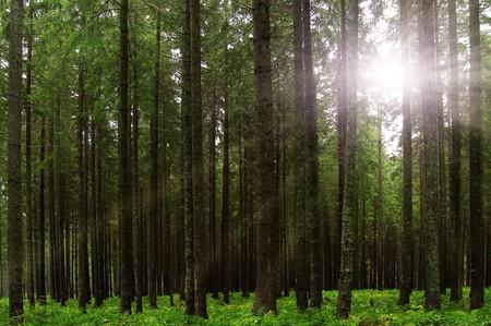 fairy tale fir tree forest Stock Photo - 3979107