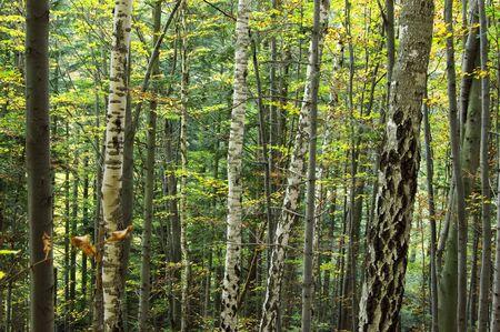houtsoorten: Berken bossen in forest dichten