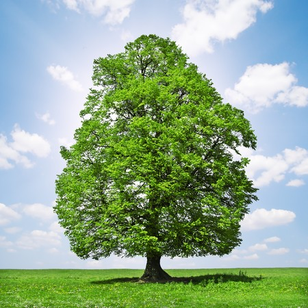 large tree: green tree and cloudy sky Stock Photo
