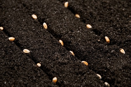 seeds of wheat in growth Stock Photo - 4377857