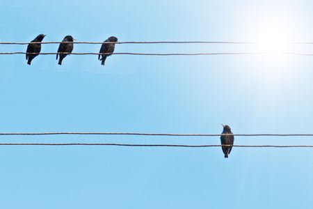alone bird: starlings on the electrical wire