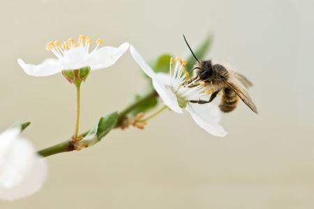 fleur de cerisier: abeille en gros plan de fleurs de cerisier