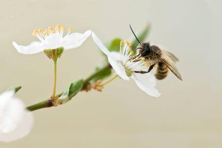conjugation: bee in cherry flower closeup Stock Photo
