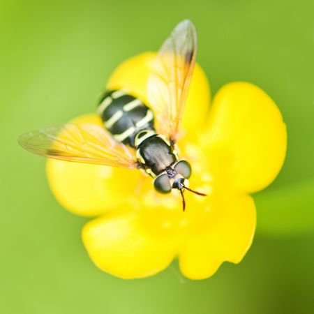 bee on yellow buttercup closeup photo