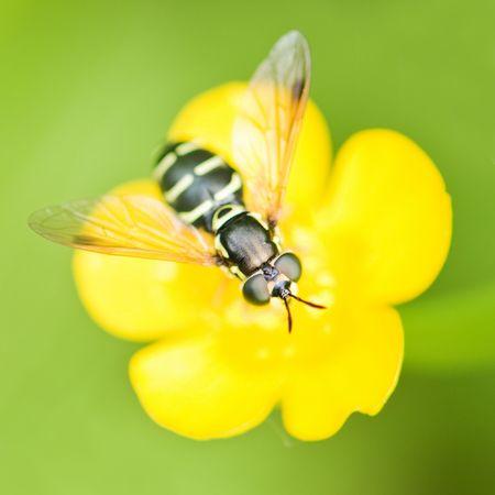 bee on yellow buttercup closeup photo