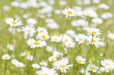 meadow of chamomile close up Stock Photo - 5043490