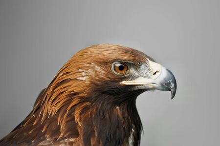 golden eagle isolated on grey background photo