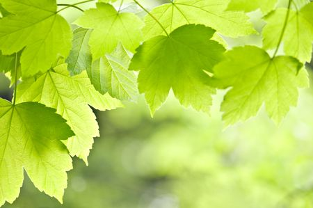 green maple leafs close up