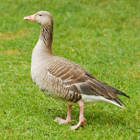 greylag: goose on green meadow closeup
