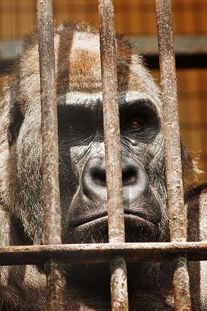 gorilla in cage close up photo