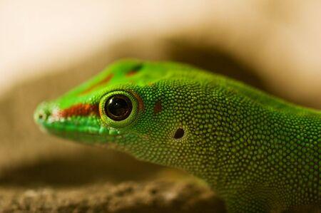 Green lizard head close up Фото со стока