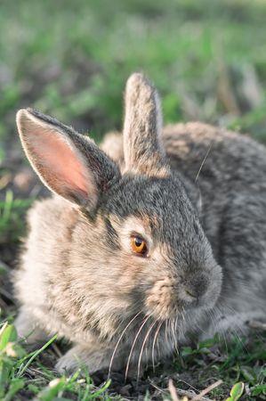 bunnie:  gray rabbit in grass closeup