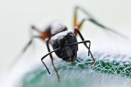 portrait of big black ant Stock Photo - 5098171