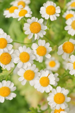 the flower chamomile close up