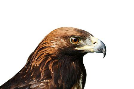 eagle isolated on white background photo