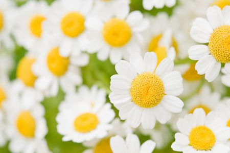 the flower chamomile close up Stock Photo - 5344529