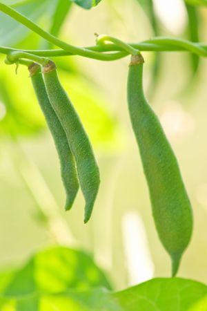 garden bean: green bean in garden closeup