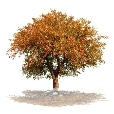 tree in autumn: autumn tree isolated on white