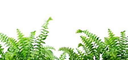 ferns: helecho aislado sobre fondo blanco