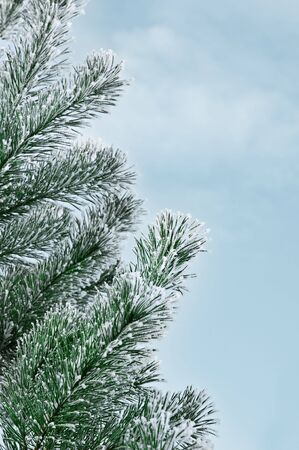 pine tree and blue sky photo